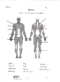 Printables Muscle Identification Worksheet muscle identification worksheet davezan bloggakuten